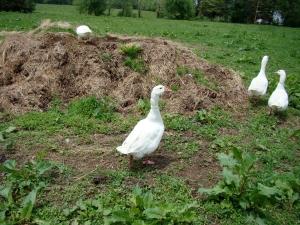 Gaggle O' Geese out at Patusan Farm