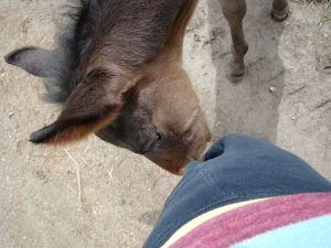 The foal sure did enjoy nibbling on my sweat pants!